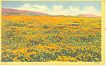 Click here to enlarge image and see more about item p13735a: A Field of California Poppies Postcard
