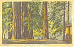 Under Peaceful California Redwoods Postcard