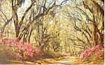 Click here to enlarge image and see more about item p13813: Spanish Moss in Louisiana Postcard