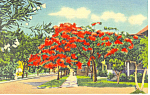 Poinciana Tree, Florida Postcard 1938