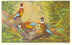 Click here to enlarge image and see more about item p13883: Chinese Pheasants Postcard p13883