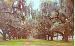 Click here to enlarge image and see more about item p13891: Live Oaks and Spanish Moss Postcard p13891