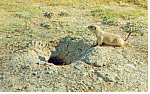 Click here to enlarge image and see more about item p13911: Prairie Dog Postcard