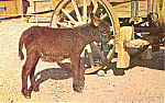 Click here to enlarge image and see more about item p13915: Our Most Popular Native Burro Postcard p13915