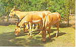 Click here to enlarge image and see more about item p13917: Onagers Persian Wild Asses Postcard p13917