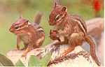 Click here to enlarge image and see more about item p13922: A Pair of  Chipmunks Postcard p13922