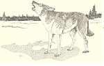 Click here to enlarge image and see more about item p13924: Eastern Timber Wolf Postcard p13924