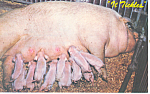 Click here to enlarge image and see more about item p13932: Sow Feeding her little piglets Postcard