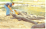 Click here to enlarge image and see more about item p13942: Arkansas Alligator Farm Postcard