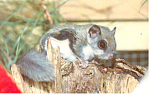 Click here to enlarge image and see more about item p13966: Southern Flying Squirrel Postcard p13966