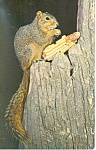 Click here to enlarge image and see more about item p13967: Fox Squirrel Postcard