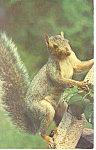 Click here to enlarge image and see more about item p13969: Grey Squirrel Postcard