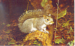 Grey Squirrel Postcard p13970