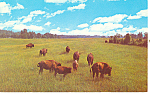 Click here to enlarge image and see more about item p13971: Buffalo Grazing Postcard