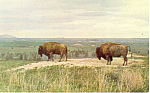 Click here to enlarge image and see more about item p13972: Buffalo  Postcard