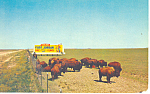 Buffalo Herd at Fort Jordan  Postcard p13974