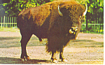 Click here to enlarge image and see more about item p13978: The American Bison Buffalo Postcard