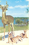Click here to enlarge image and see more about item p13984: Majestic Buck with Young Sons Postcard p13984