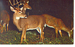 Click here to enlarge image and see more about item p13986: Deer Herd at Night Postcard