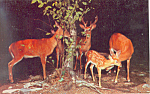 Click here to enlarge image and see more about item p13987: Deer Herd at Night Postcard