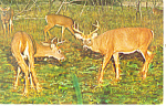 Click here to enlarge image and see more about item p13992-A: Two Bucks Square Off Postcard