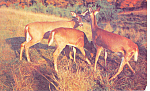 Click here to enlarge image and see more about item p13993: Three Little Deers Postcard