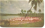 Click here to enlarge image and see more about item p14120: Hialeah,FL Flamingos at  Hialeah Race Track Pcard 1953