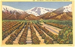 Click here to enlarge image and see more about item p1440: Old Baldy From Orange Groves CA   Postcard