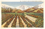 Click here to enlarge image and see more about item p1441: Orange Groves CA Showing Old Baldy Postcard