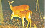 Mother Deer with Fawn Postcard