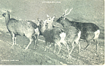 Click here to enlarge image and see more about item p14632: Japanese Sika Deer Postcard p14632