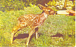 Click here to enlarge image and see more about item p14638: Bottle Fed Baby Deer Postcard p14638