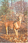 Click here to enlarge image and see more about item p14640: A White Tail Buck  Postcard p14640