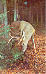 Buck Deer Feeding Postcard