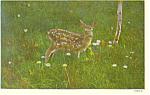 Fawn Deer in Pennslyvania Postcard