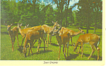 Deer Grazing Postcard