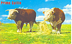Click here to enlarge image and see more about item p14665: Prime Cattle Postcard p14665