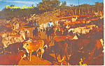 Click here to enlarge image and see more about item p14667: Brahma Corral Postcard p14667