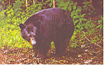 Click here to enlarge image and see more about item p14673: Black Bear Postcard p14673