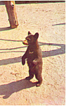 Click here to enlarge image and see more about item p14680: Standing Bear Cub Postcard p14680