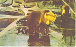 Click here to enlarge image and see more about item p14682: Brown Bear National Zoological Park Postcard p14682