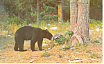 Click here to enlarge image and see more about item p14684: Black Bear in a Forest Postcard p14684 1975