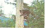 Black Bear Cub in a Tree Postcard 1962