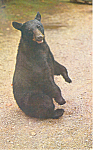 Click here to enlarge image and see more about item p14686: Black Bear Strikes a Pose Postcard p14686 p14686