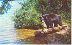 Click here to enlarge image and see more about item p14689: Yearling Cub Black Bear  Postcard p14689