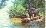 Click here to enlarge image and see more about item p14691: Bear Looking For Lunch  Postcard p14691