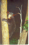 Click here to enlarge image and see more about item p14692: Bear Cub in Tree  Postcard p14692