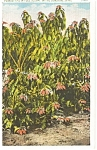 Click here to enlarge image and see more about item p1469: Florida Poinsettias Postcard