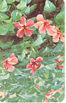 Hibiscus Native of China Postcard