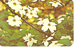 Click here to enlarge image and see more about item p14716: Dogwood Blossoms Postcard p14716